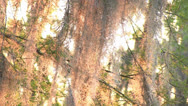 Stock Video Footage of Moss in cypress tree at sunset