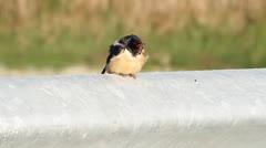 Barn Swallow (Hirundo rustica) Stock Footage