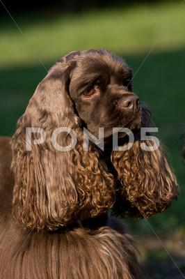 Stock photo of american cocker spaniel – female