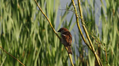 House Sparrow (Passer domesticus) on a twig. Stock Footage