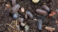 Woodlice Stock Footage