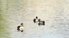 Mallard Duck male on water Stock Footage