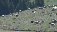 Sheep with lambs.Sheep eat grass green in mountains Stock Footage