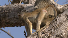 Young and adult Savanna Baboons in tree in Niassa Reserve, Mozambique. Stock Footage