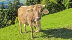 Alpine brown cow looking at you Stock Photos