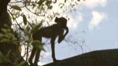 Young Savanna Baboon in tree in Niassa Reserve, Mozambique. Stock Footage