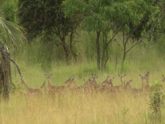 Herd of antelope ewes gathered in Niassa Reserve, Mozambique Stock Footage