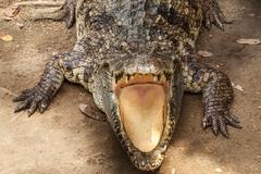 crocodile. - stock photo