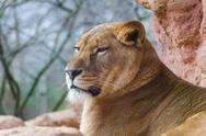 Female lion close Stock Photos