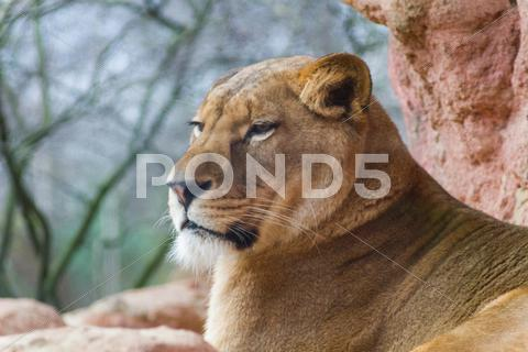 Stock photo of female lion close