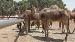 Camel farm. Dromedary Stock Footage