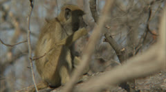 Young Savanna Baboon eating in tree in Niassa Reserve, Mozambique. Stock Footage