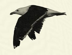 Black and white seagull drawing Stock Illustration