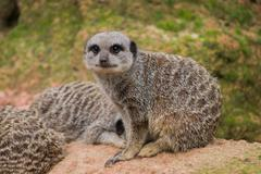 Suricate watching into the cam Stock Photos