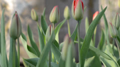Tulip Garden. Dolly shot.  - stock footage