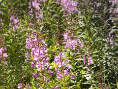 Stock Photo of pink wildflower