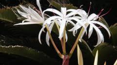Unusual white Lilium flowers Stock Footage
