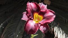 Amaryllis red flower Stock Footage