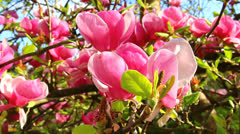 Pink magnolia flower Stock Footage