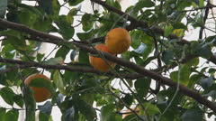 Orange tree with fruits Stock Footage