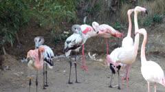 flamingos - stock footage