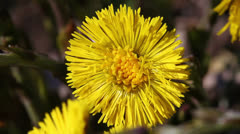 Coltsfoot - Tussilago Farfara Stock Footage