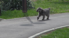 Adorable puppy for a walk in the park. Stock Footage
