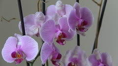 Purple orchid at home Stock Footage