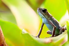 strawberry poison dart frog - stock photo