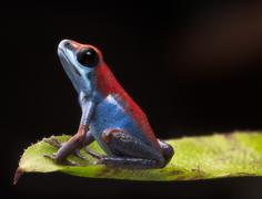 Stock Photo of poison dart frog