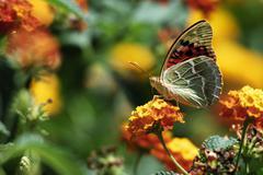 Cardinal butterfly on flower Stock Photos