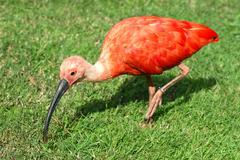 Scarlet ibis on grass - stock photo