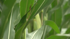 Rack focus of maize ready to harvest for silage. Stock Footage