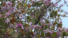 Orchid tree. Bauhinia Stock Footage