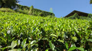 Stock Video Footage of Tea plantation in Nuwara Eliya,Ceylon.