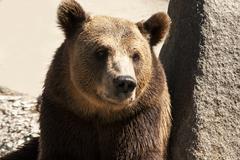 Grizzly Bear pään Kuvituskuvat