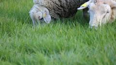 Rams grazing grass Stock Footage