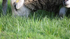 Sheep grazing grass Stock Footage