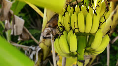 Stock Video Footage of Bananas