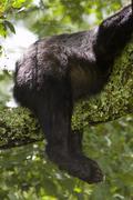 Bear butt in tree Stock Photos