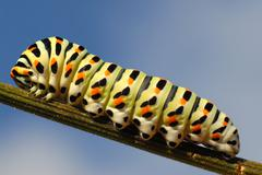 Caterpillar of swallowtail on stem Stock Photos