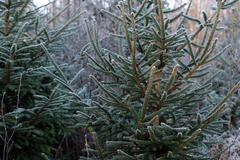 fir tree with hoar frost - stock photo