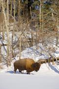 Bison in snow Stock Photos