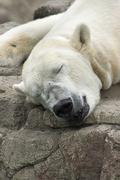 sleeping polar bear 3 - stock photo