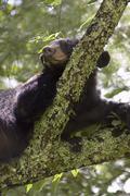 Black Bear in Tree - stock photo