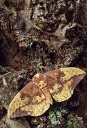 Imperial moth (eacles imperialis) Stock Photos