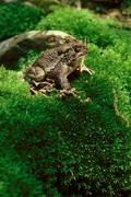 american toad on mossy hill - stock photo