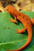 red spotted newt on green leaf - stock photo