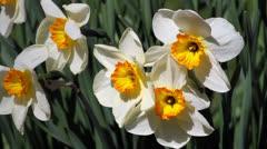 Bi-color Daffodil Breeze Loop Stock Footage