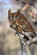 eastern screech owl portrait - stock photo